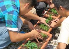 四つ葉のクローバー栽培